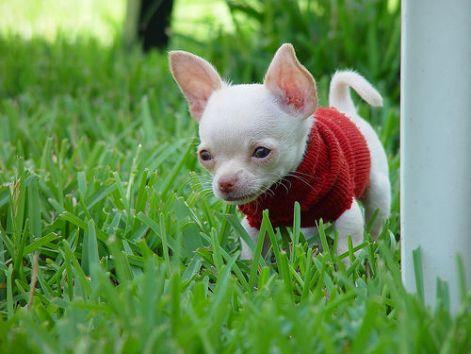 puppy_chihuahua.jpg